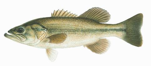 introduction to the largemouth bass