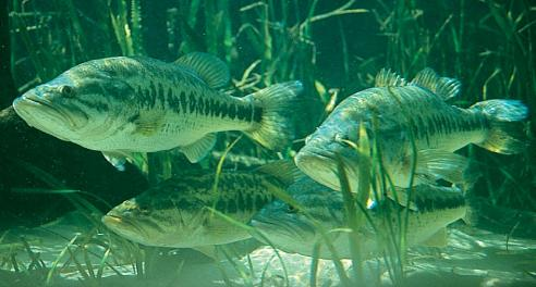 Largemouth bass feeding habits