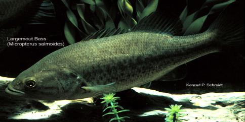 the largemouth bass spawn and reproduction